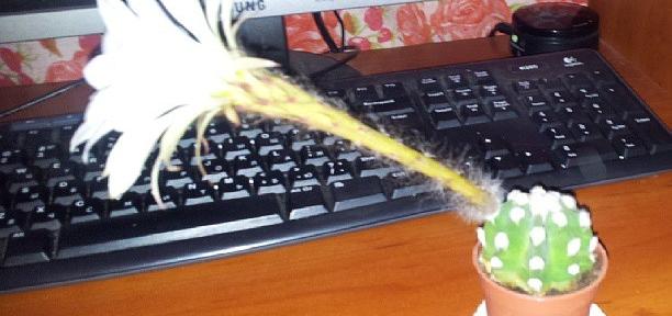 Мутации :) Цветок больше самого кактуса.